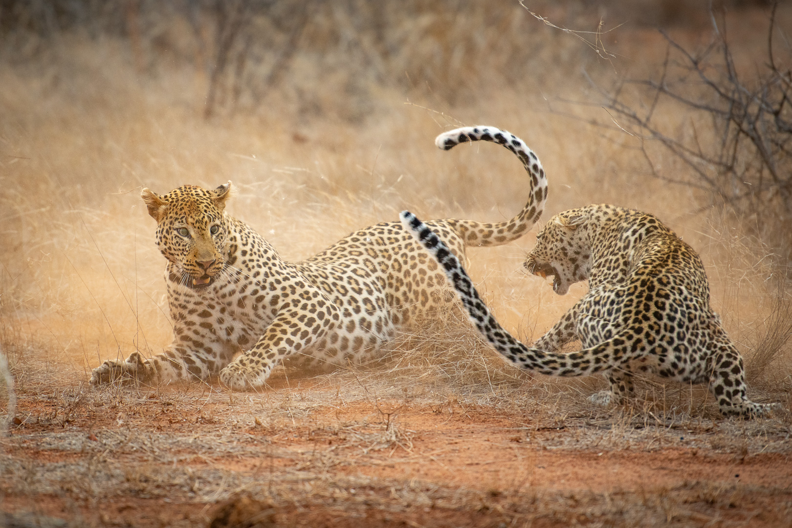 Tanda Tula - leopards fighting in the Greater Kruger