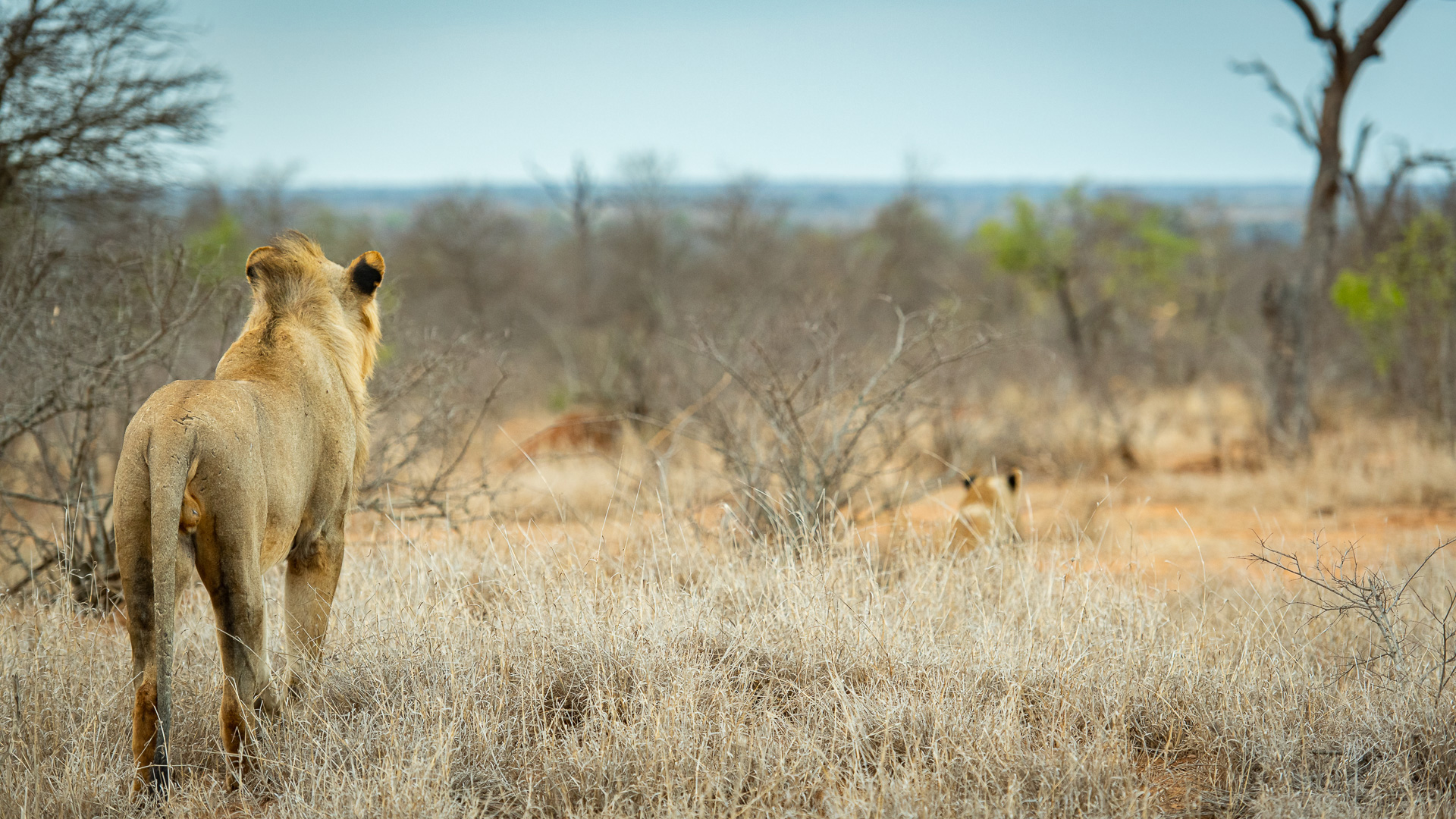Tanda Tula - lion in the Timbavati, South Africa