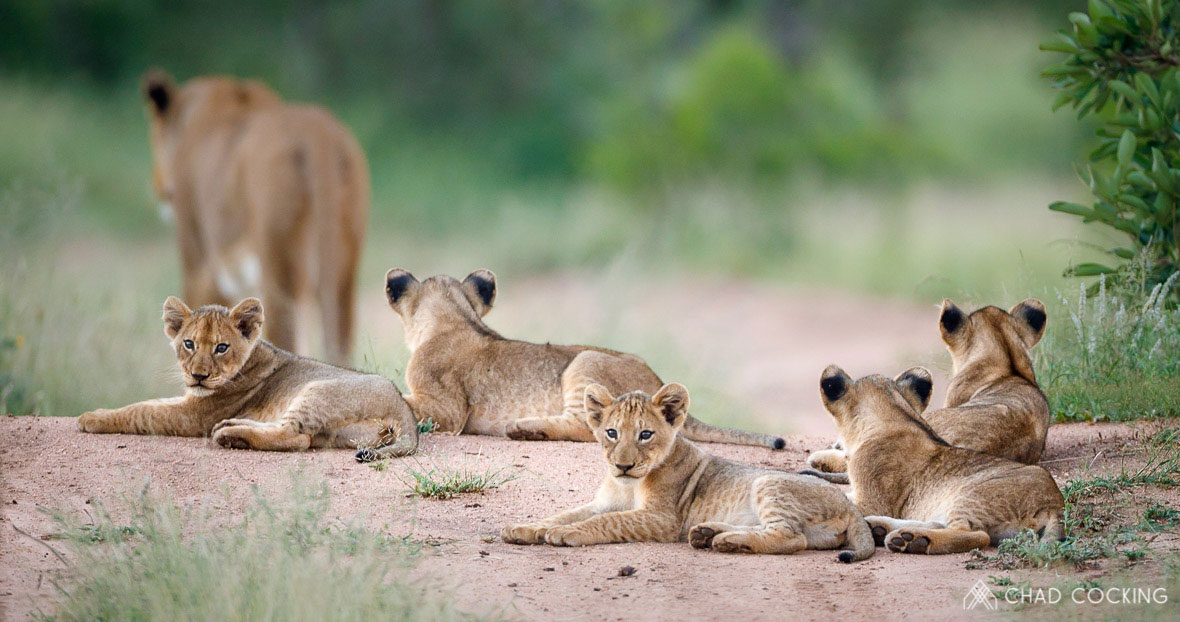 Tanda Tula - lion cubs in the Greater Kruger