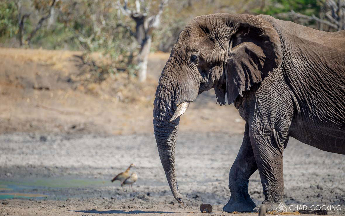 Tanda Tula - Apollo with both tusks broken off in the Greater Kruger, South Africa