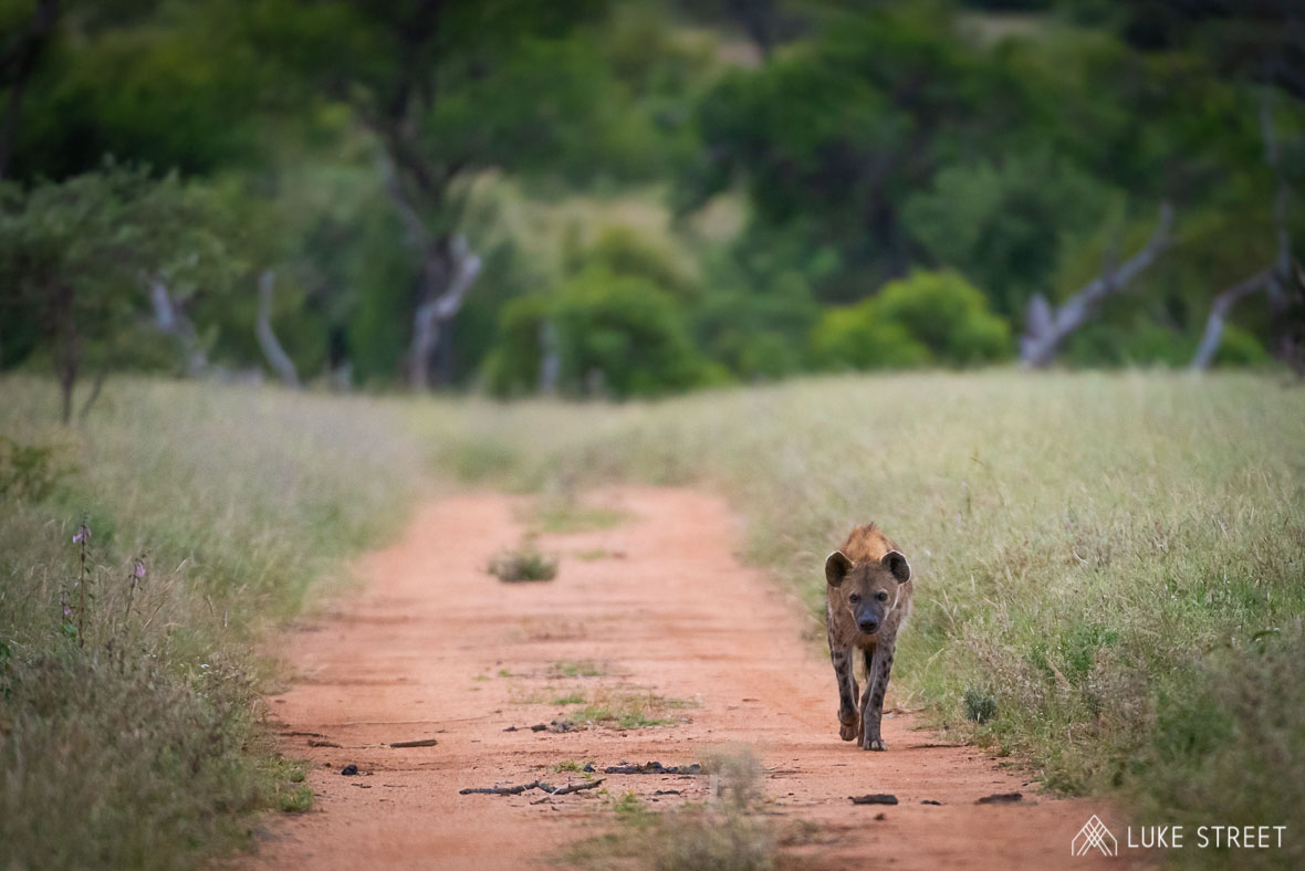 Tanda Tula - lone hyena in the Greater Kruger