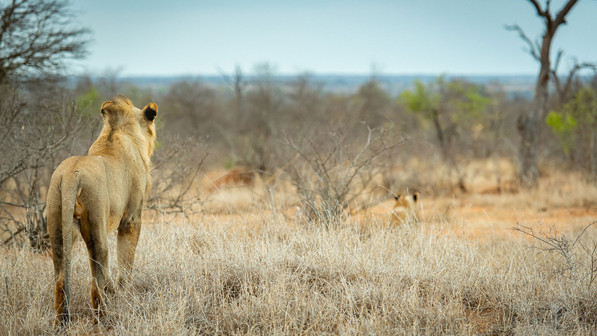 Tanda Tula - lion in the Greater Kruger