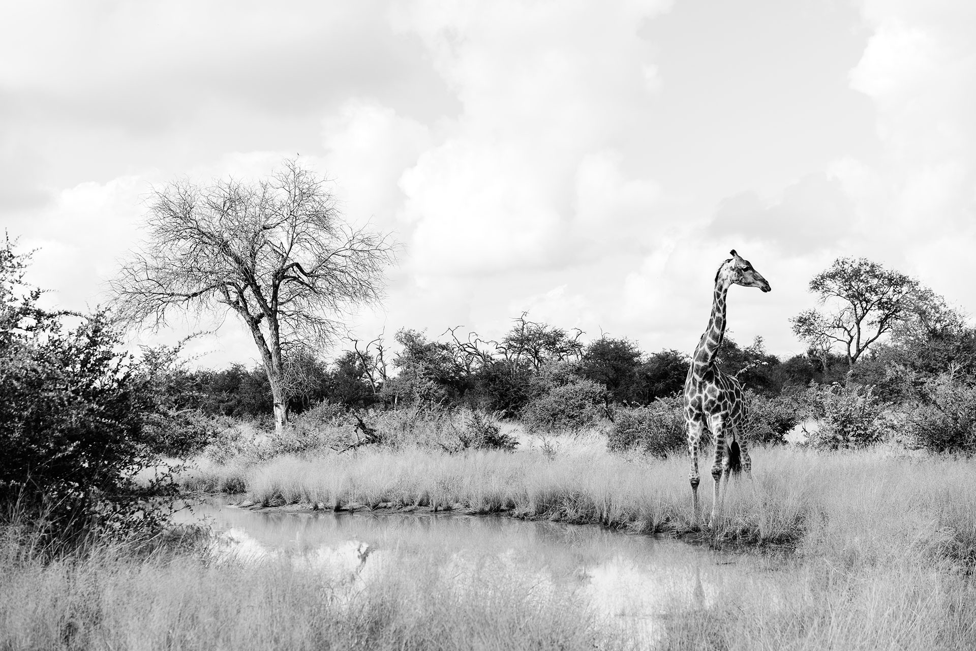 Tanda Tula - giraffe in the Timbavati