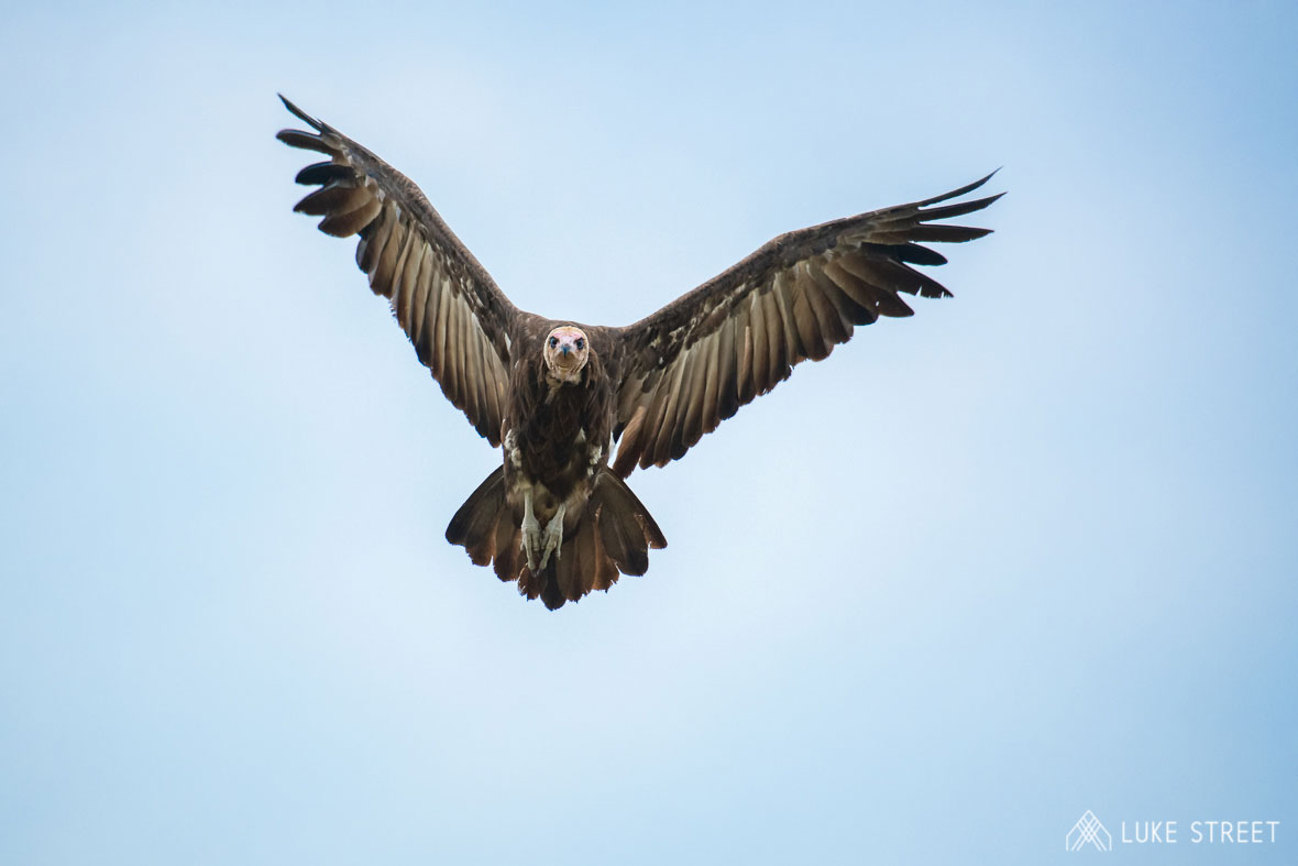 Tanda Tula - Hooded vulture in the Greater Kruger