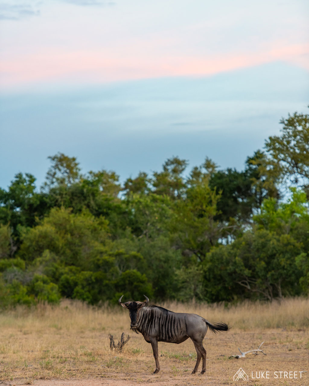 Tanda Tula - majestic wildebeest in the Greater Kruger Park, South Africa