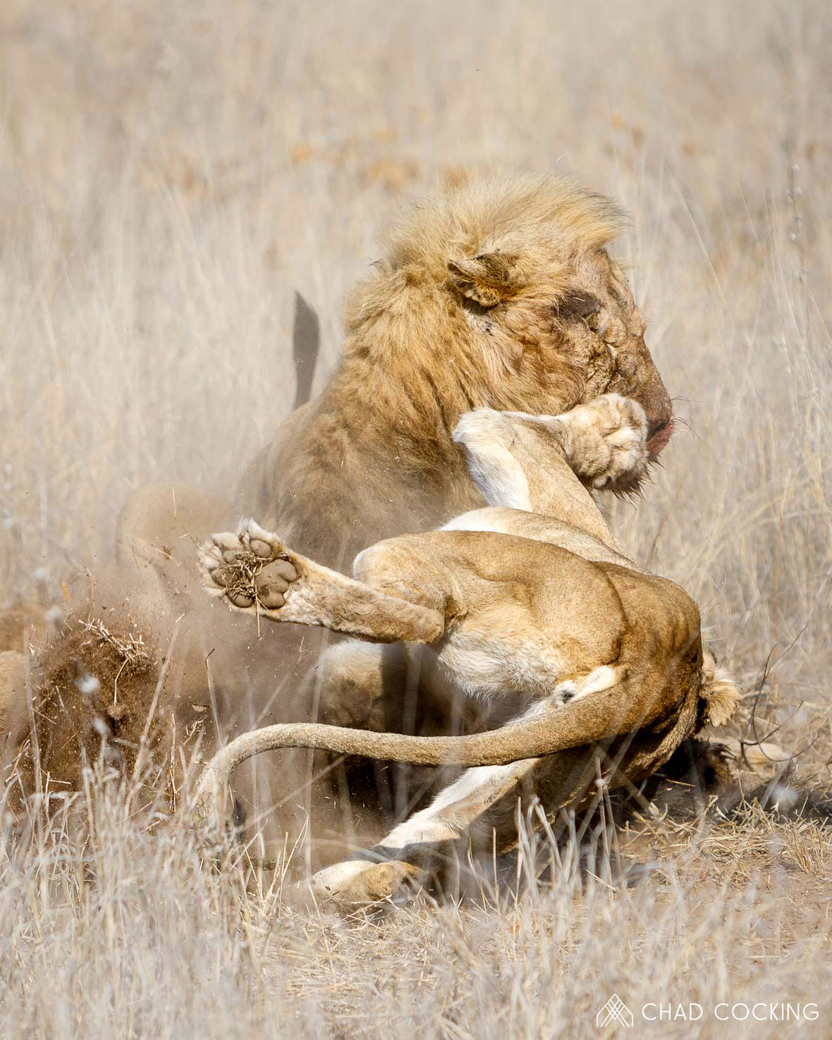 Tanda Tula - Mayambula Pride fighting over a wildebeest kill in the Greater Kruger, South Africa