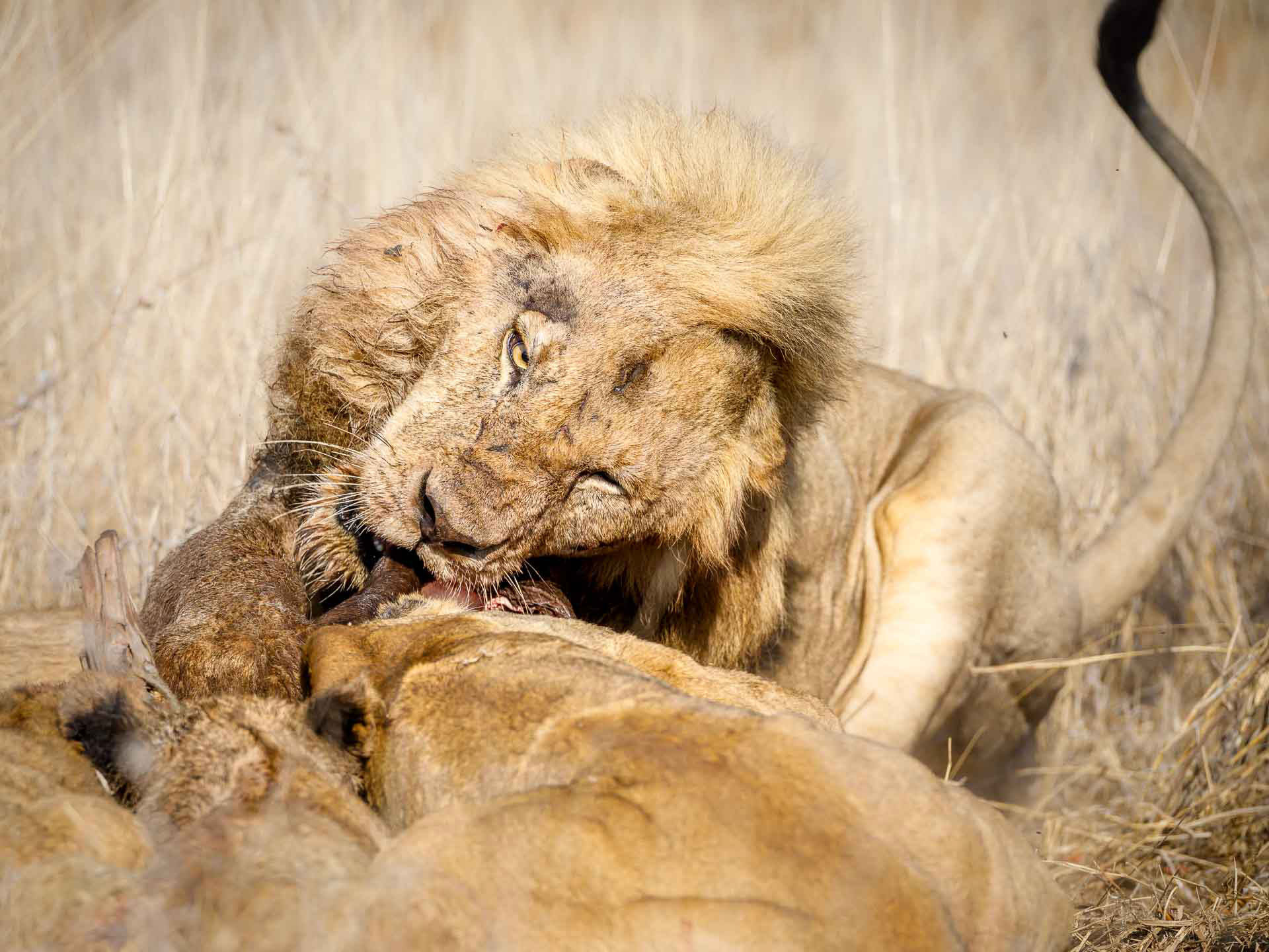 Tanda Tula - Mbiri male lion fighting over a wildebeest kill in the Greater Kruger, South Africa