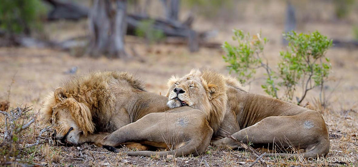 Tanda Tula - Mbiri male lions sleeping in the Greater Kruger