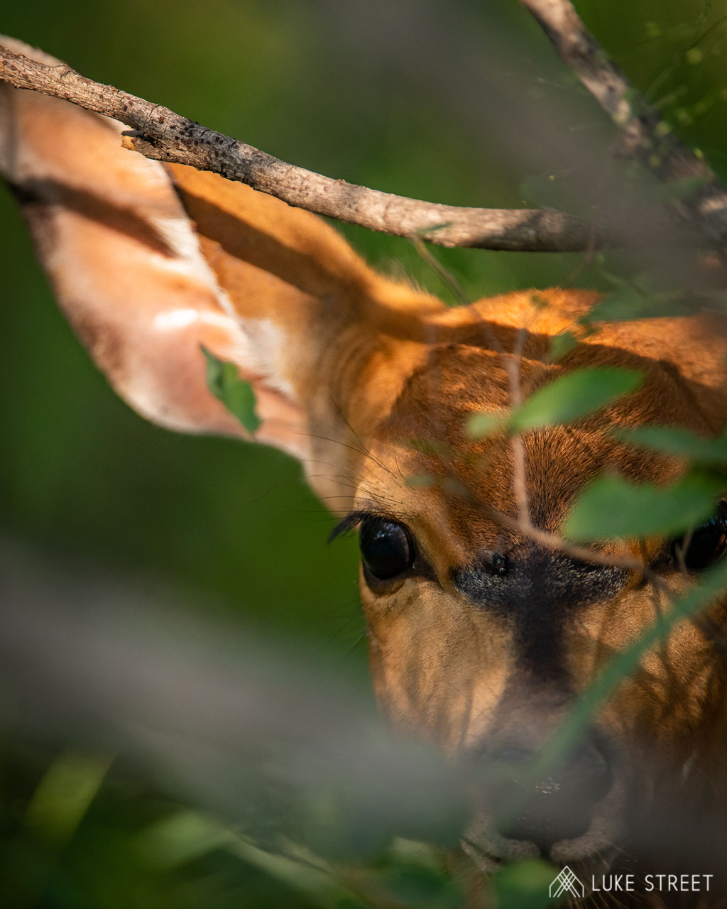 Tanda Tula - impala peeking through the trees in the Greater Kruger