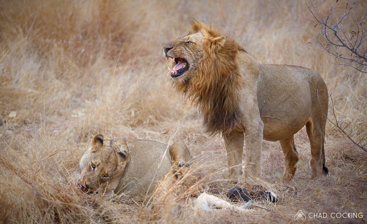 Tanda Tula - male lion grimace on the best safari in South Africa