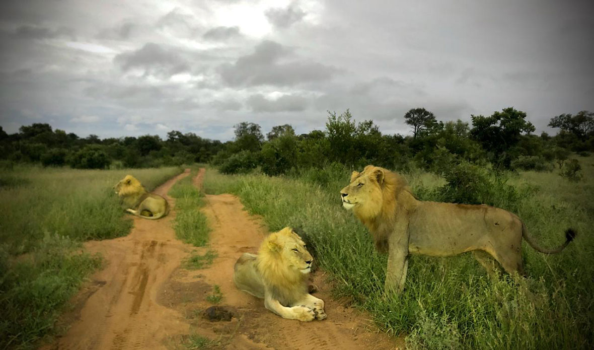 Tanda Tula - Nharu male lions in the Greater Kruger, South Africa