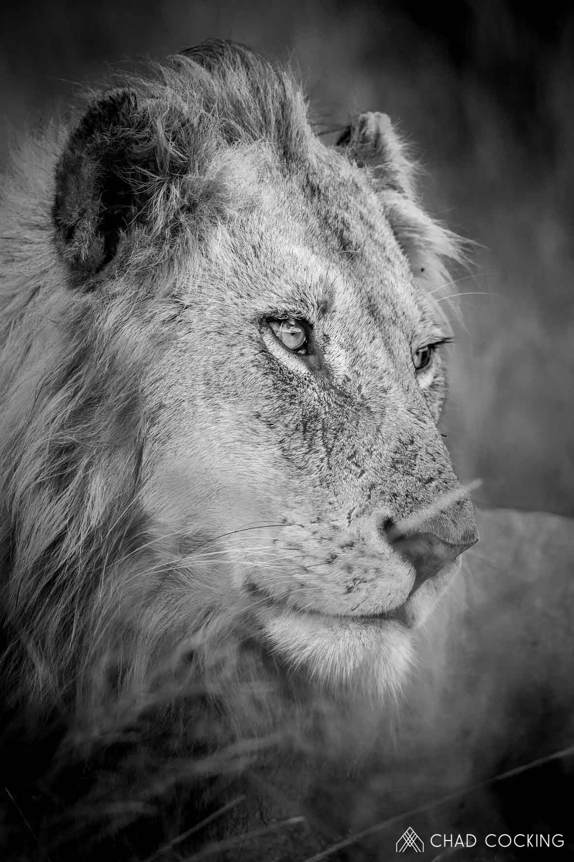 Tanda Tula - Nharhu male lion in the Greater Kruger