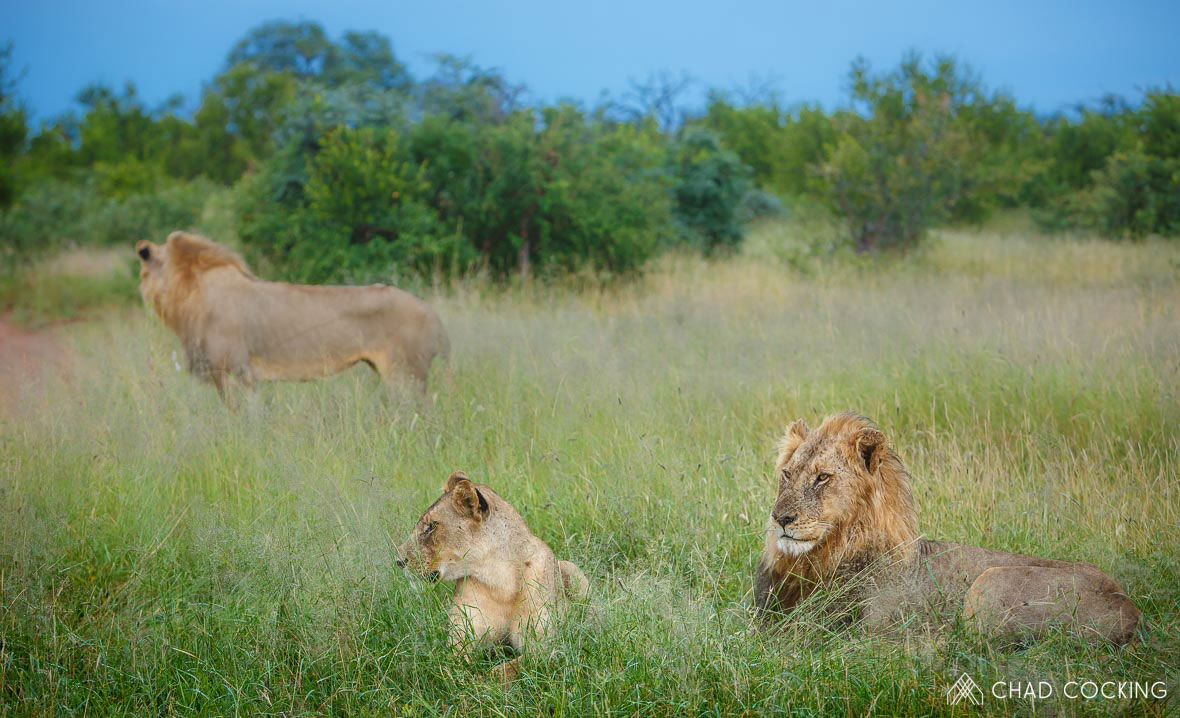 Tanda Tula - Nharhu male lions and River Pride Lionesses in the Greater Kruger
