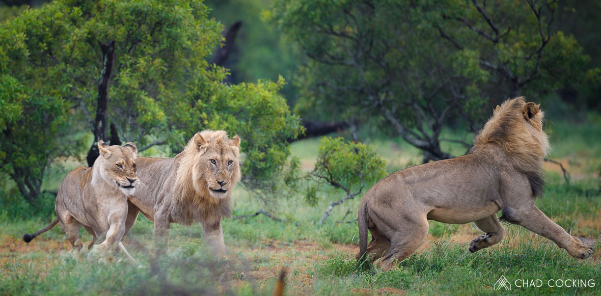 Tanda Tula - Nharhu male lions fighting in Greater Kruger, South Africa
