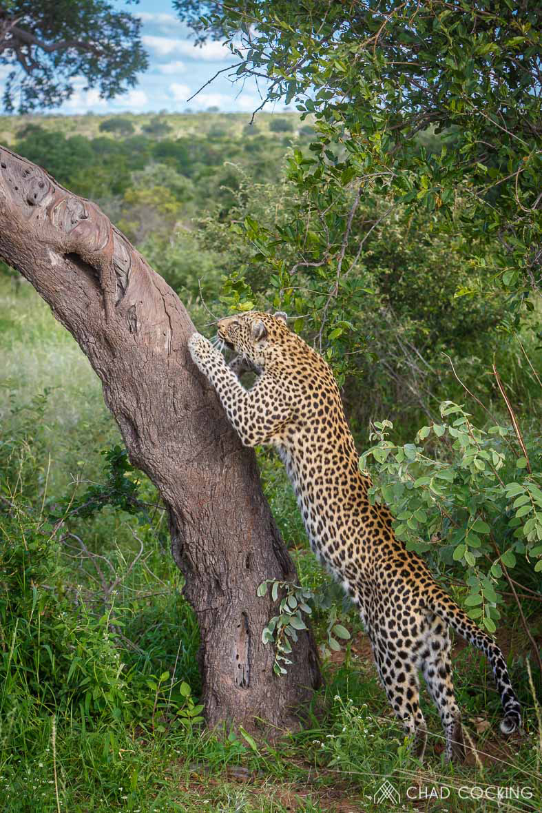 Tanda Tula - Nthombi leopard in the Greater Kruger