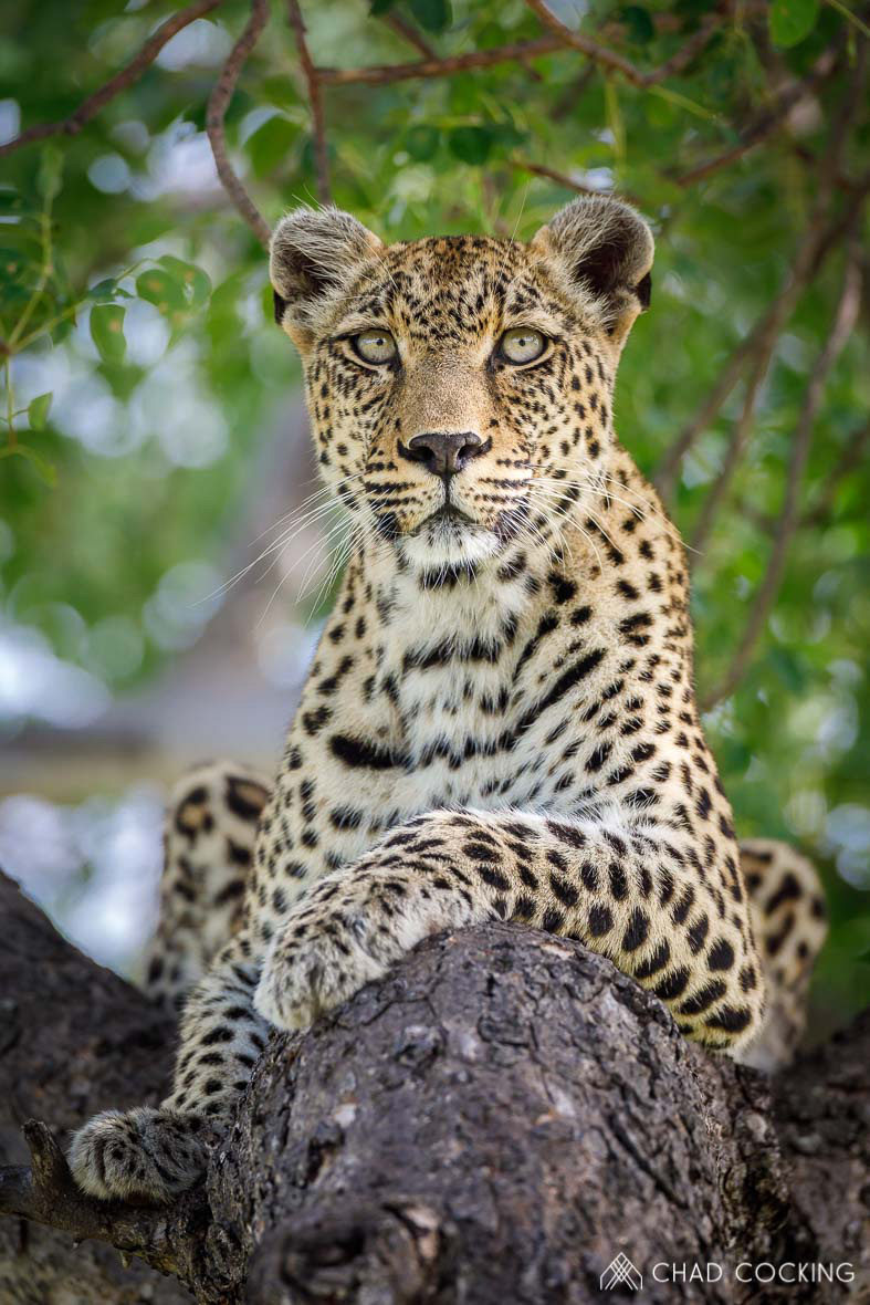 Tanda Tula - Nthombi leopard watching kudu in the Greater Kruger
