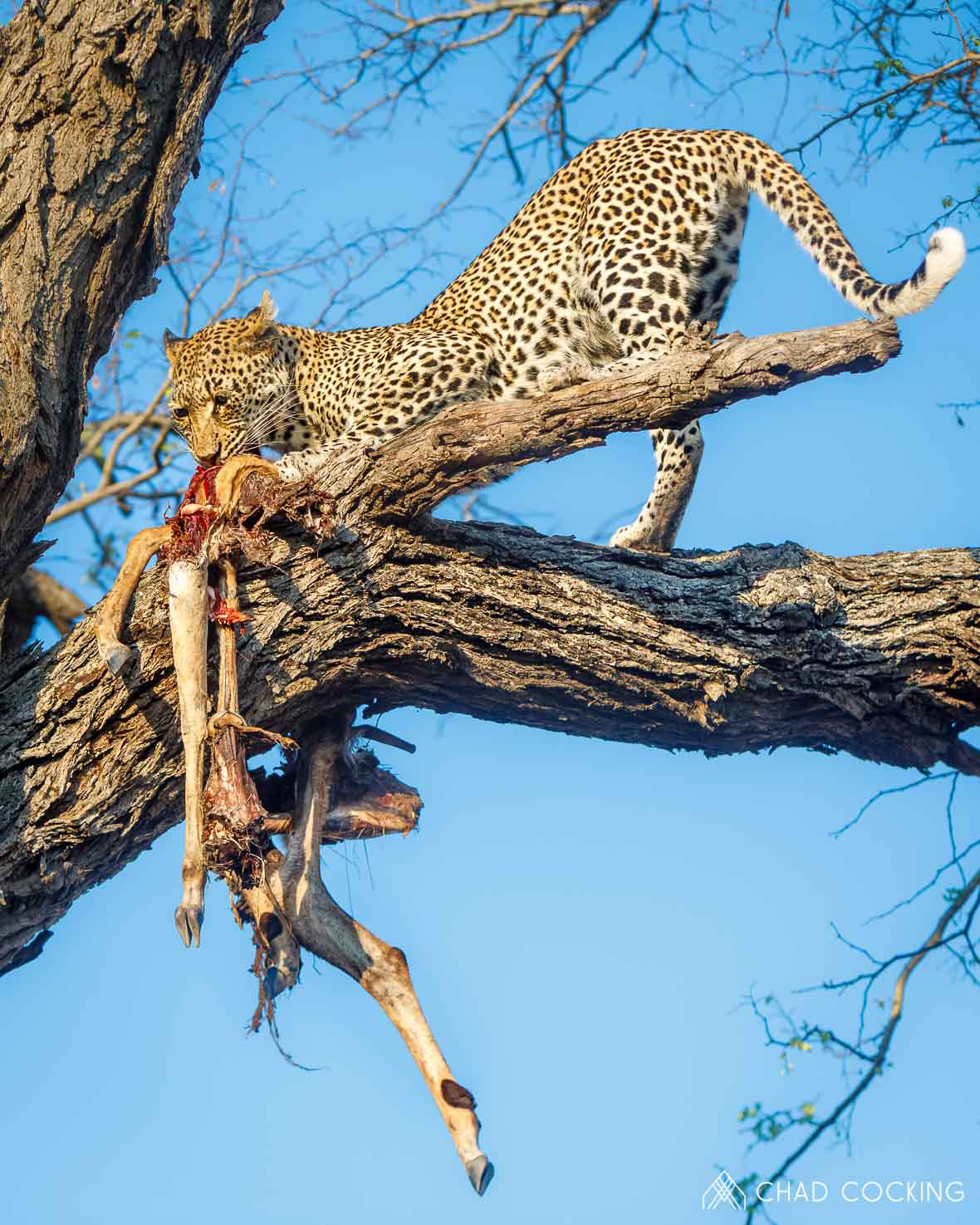Tanda Tula - Nyeleti feeding on an impala in the Greater Kruger, South Africa