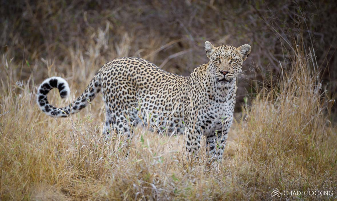 Tanda Tula - leopardess in the Greater Kruger