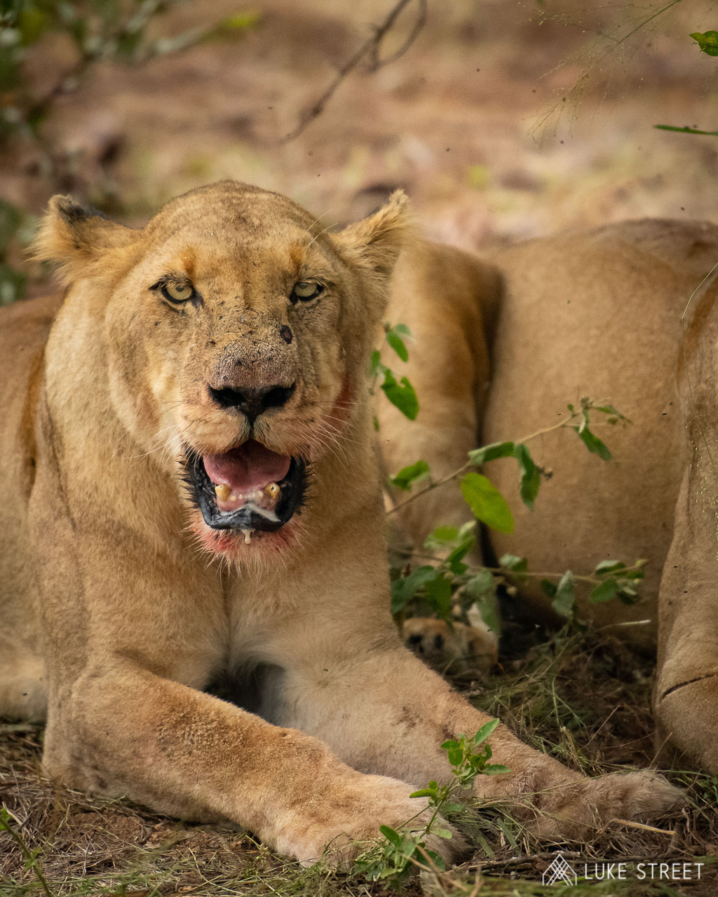 Tanda Tula - River Pride female lioness after our kill in the Greater Kruger, South Africa