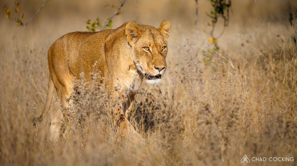 Tanda Tula - River Pride lioness on the prowl in the Greater Kruger