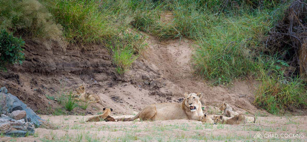 Tanda Tula - River pride with lion cubs in the Timbavati