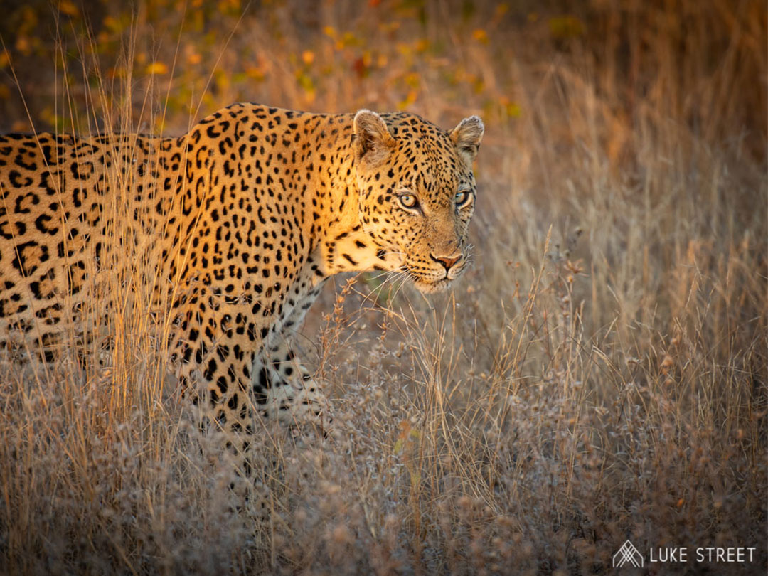 Lions, Leopards And Hyenas In Pictures