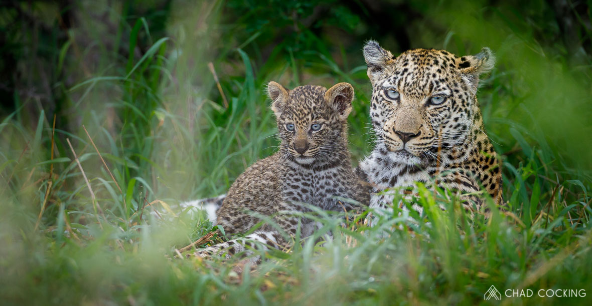 Tanda Tula - leopard cub and mother in the Timbavati, Greater Kruger