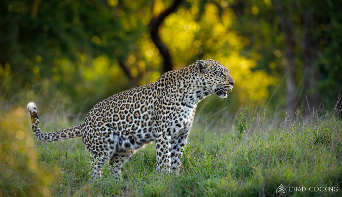 Tanda Tula - Thumbela female leopardess in the Greater Kruger