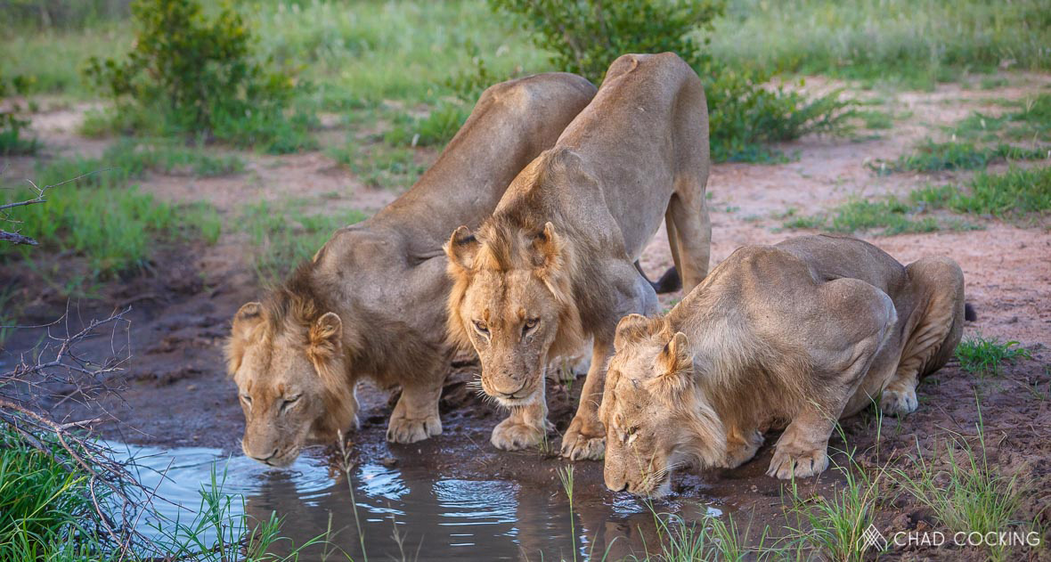 Tanda Tula - Vuyela lion males drinking in the Timbavati