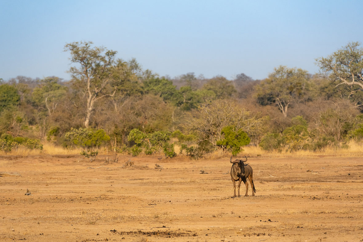Tanda Tula - lone wildebeest in the Greater Kruger