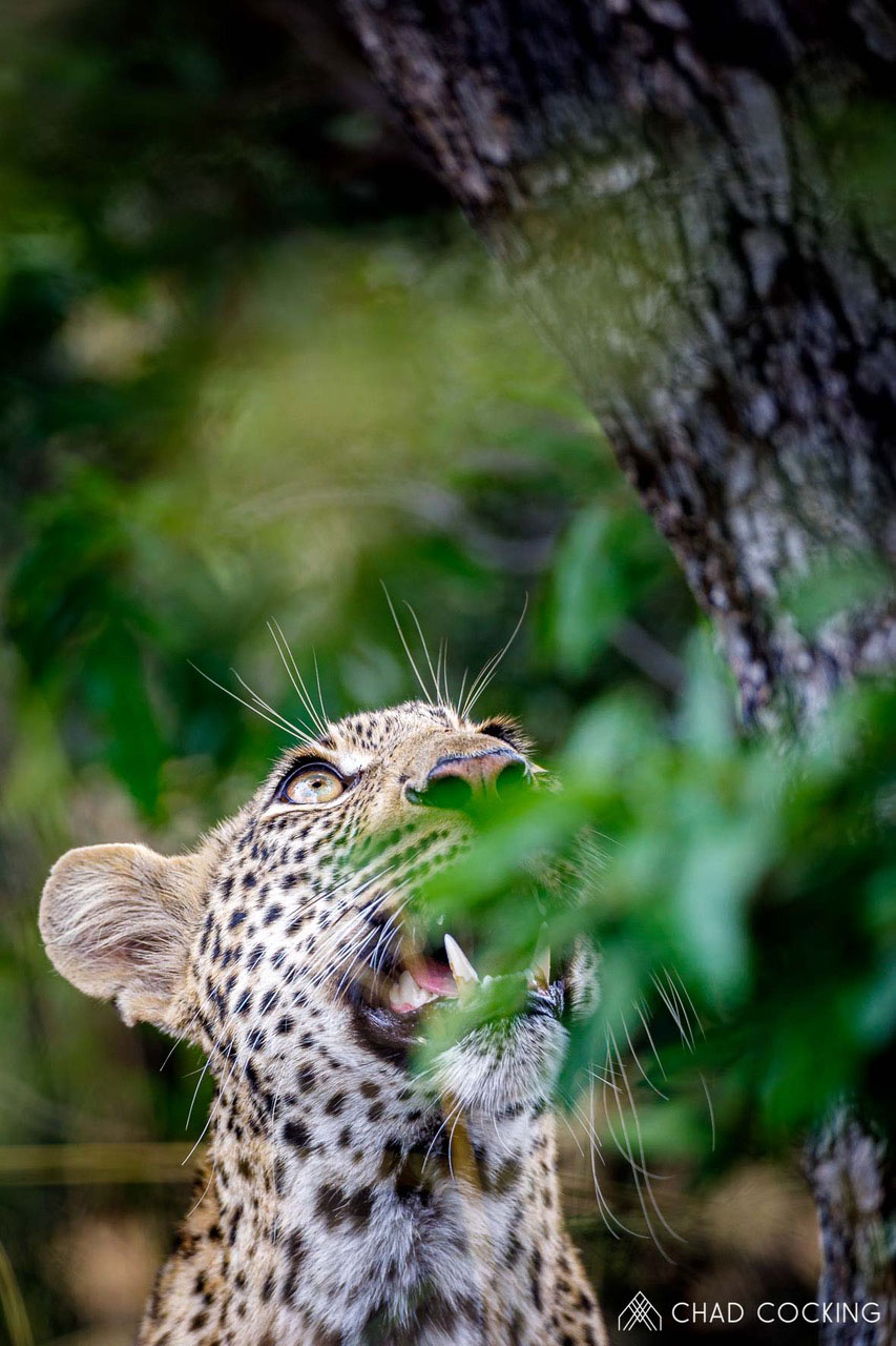 Tanda Tula - Xisiwana male leopard in the Greater Kruger, South Africa