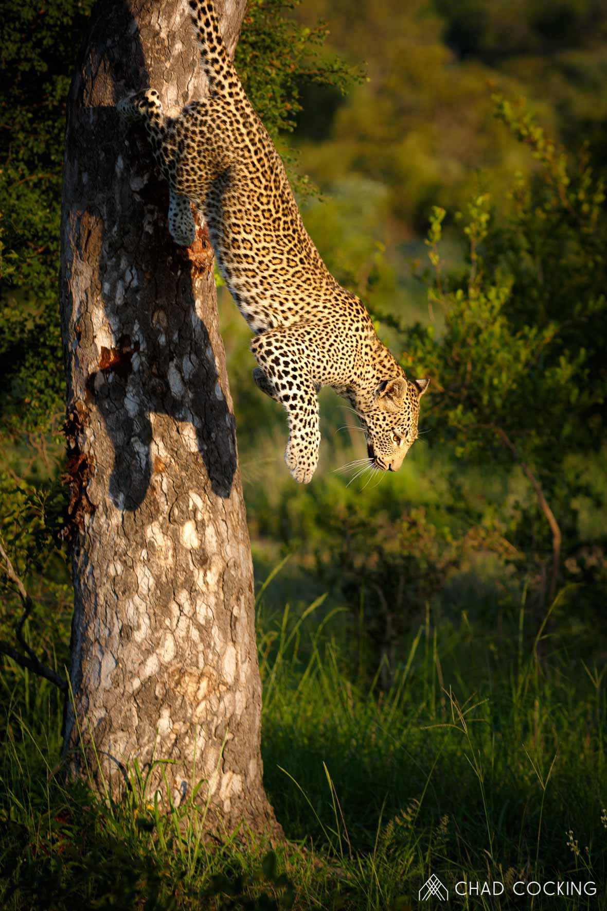 Tanda Tula - Male leopard climbs down a tree in the Greater Kruger Park, South Africa