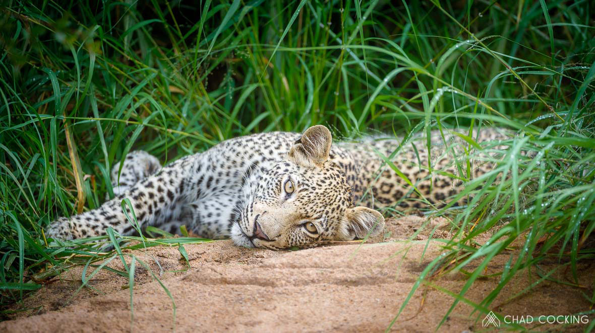 Tanda Tula - Xisiwana leopard resting near a kill in the Greater Kruger