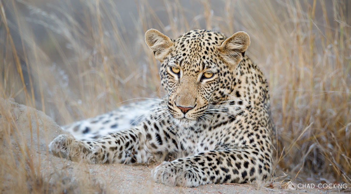Tanda Tula - Xisiwana leopard resting in the Greater Kruger