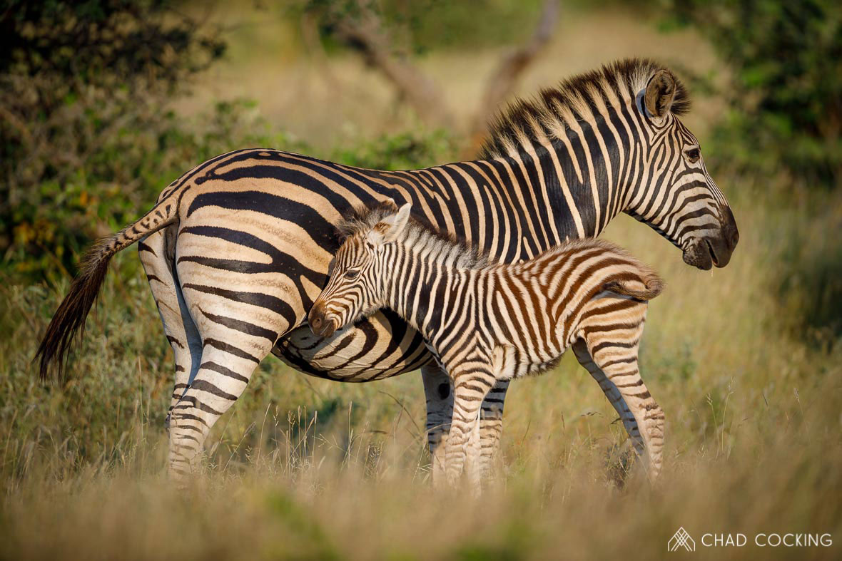 Tanda Tula - Zebra and foul in the Greater Kruger