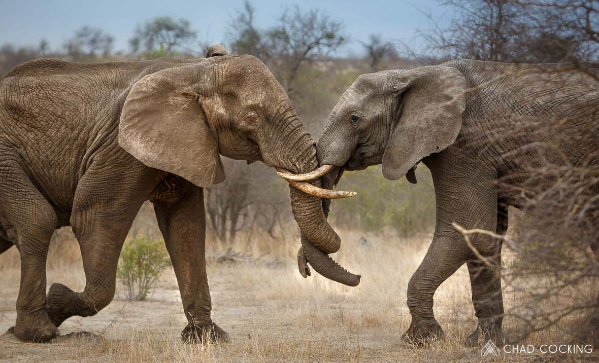 Tanda Tula - albino elephant bull fighting in the Greater Kruger, South Africa