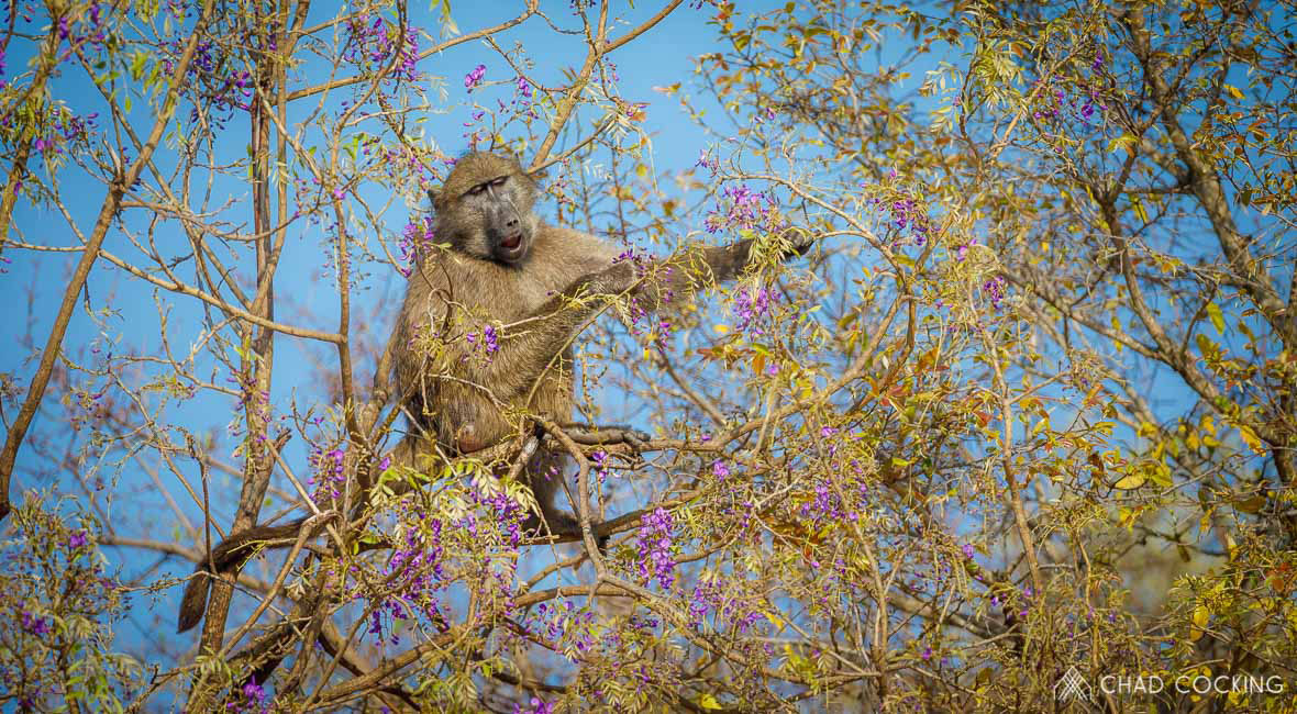 Tanda Tula - baboon eating a flowering tree, South Africa