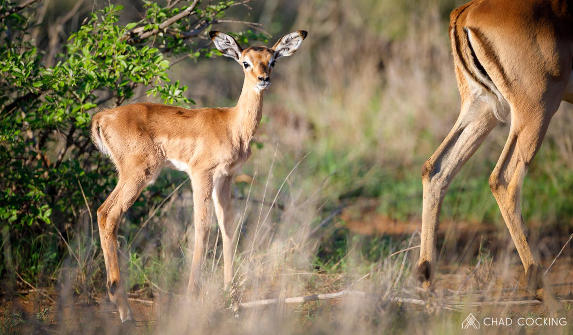 Tanda Tula - impala baby in the Greater Kruger