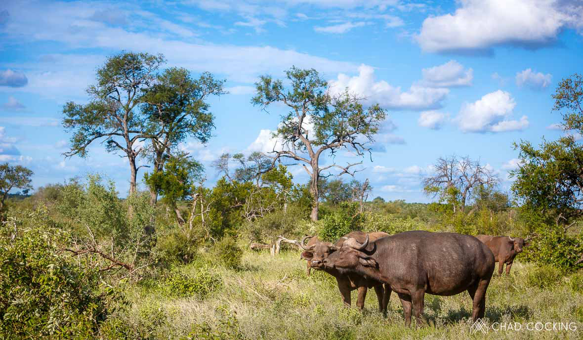 Tanda Tula - buffalo herd in the Greater Kruger