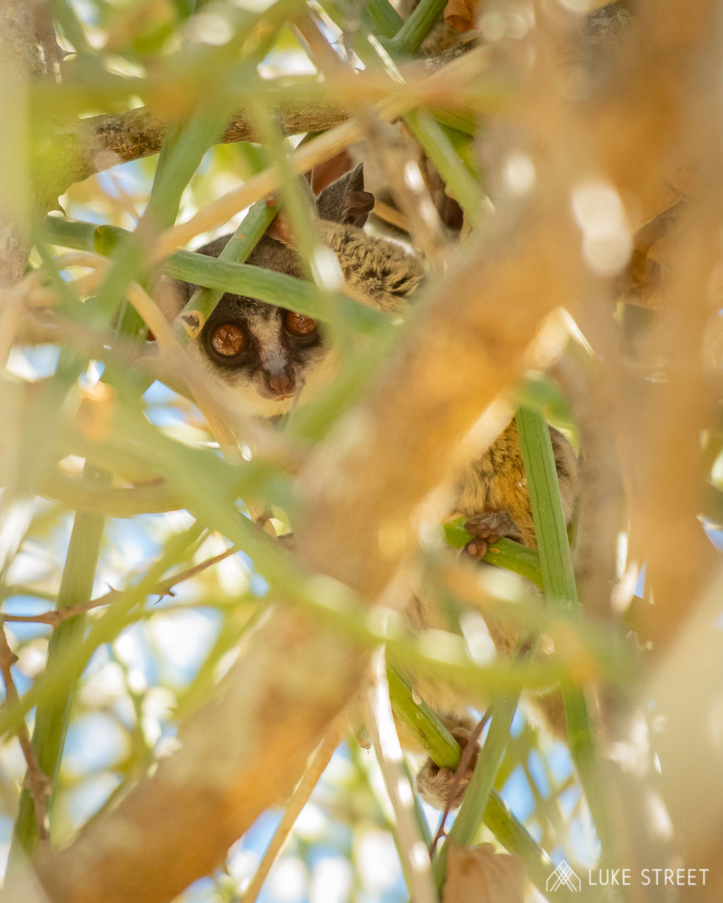 Tanda Tula - Bush baby hanging out in the Greater Kruger