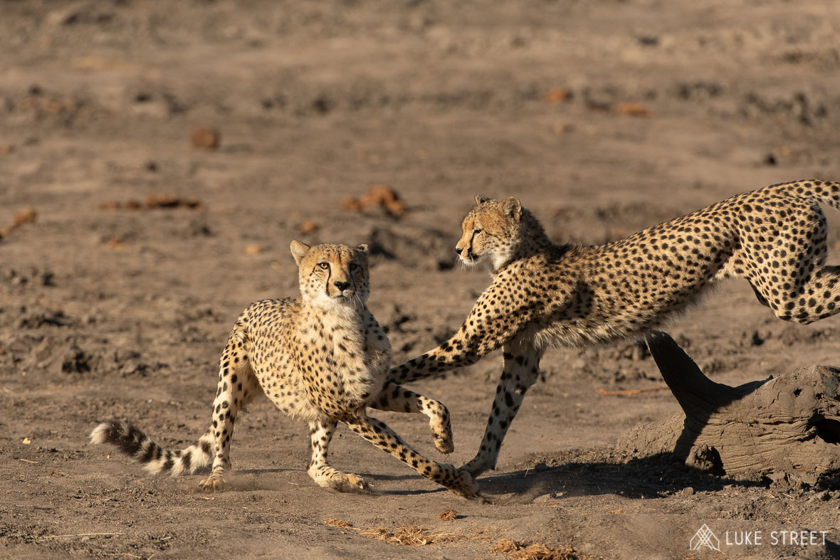 Tanda Tula - cheetahs playing together in the Greater Kruger