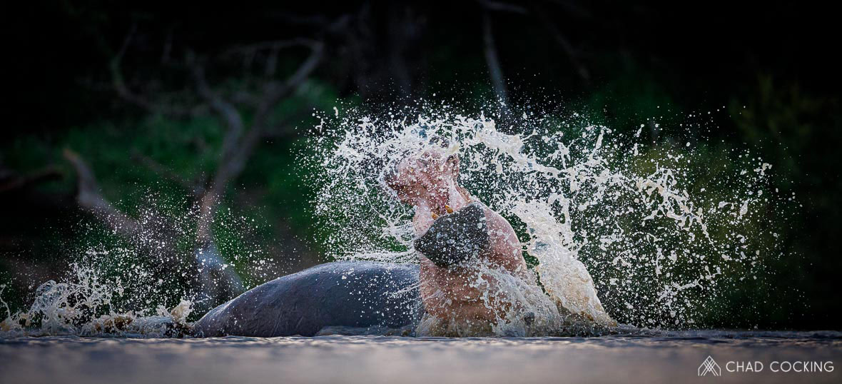Tanda Tula - hippo having fun in the Greater Kruger