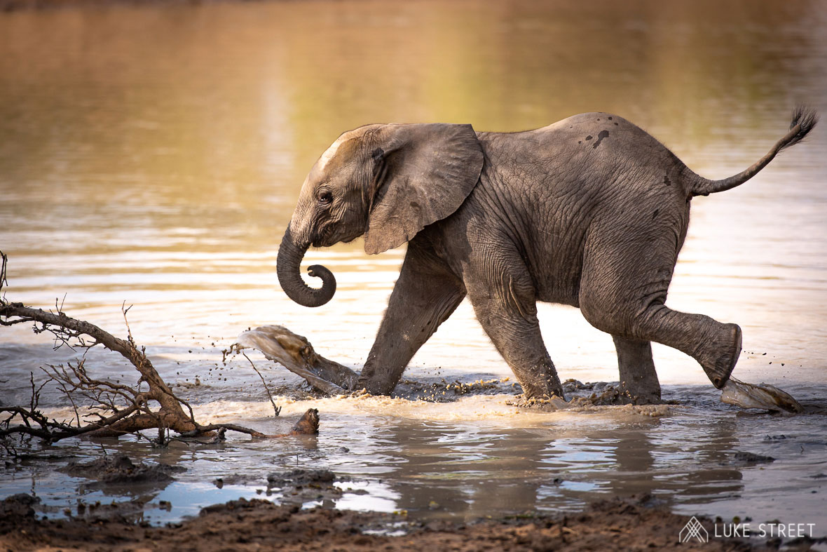 Tanda Tula - elephant calf in the water in the Greater Kruger