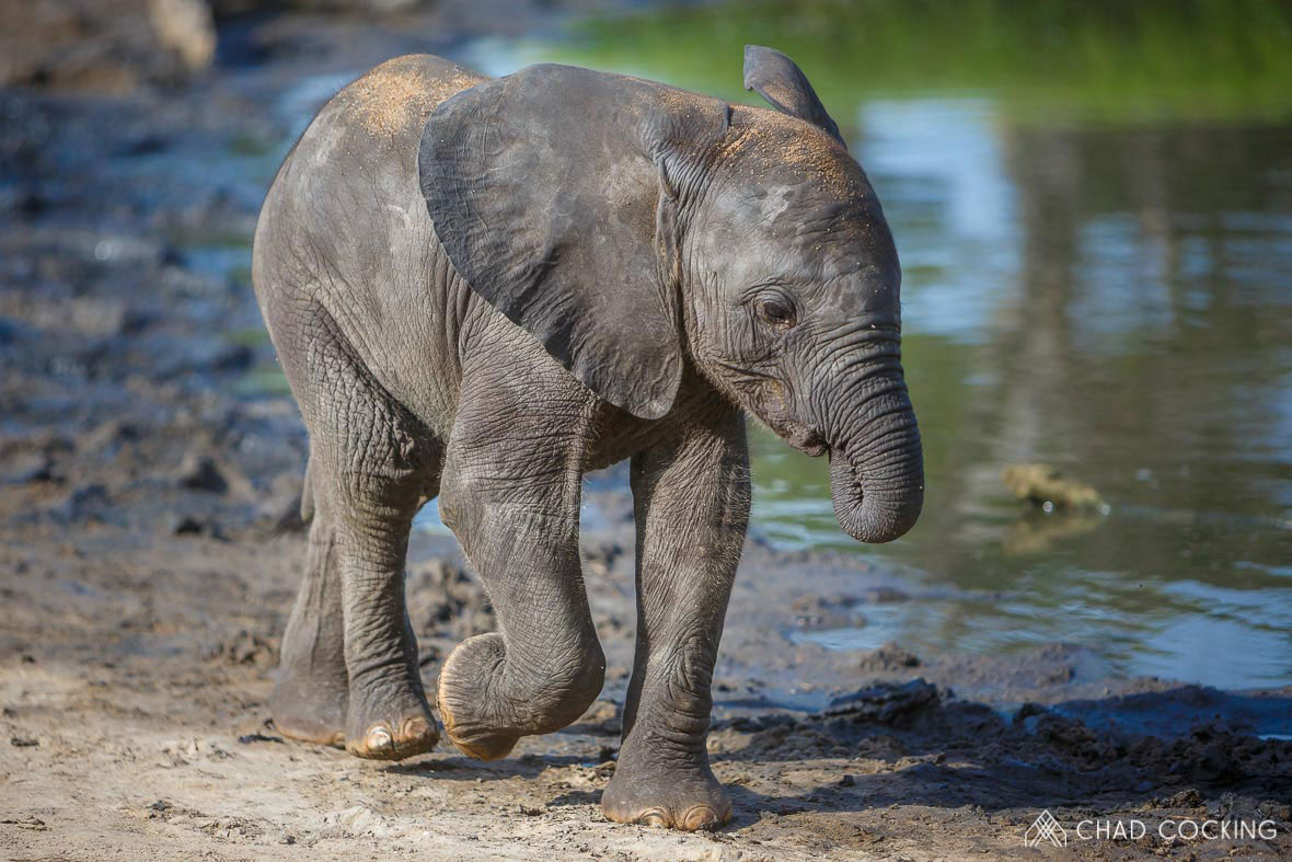 Tanda Tula - elephant calf in the Greater Kruger, South Africa