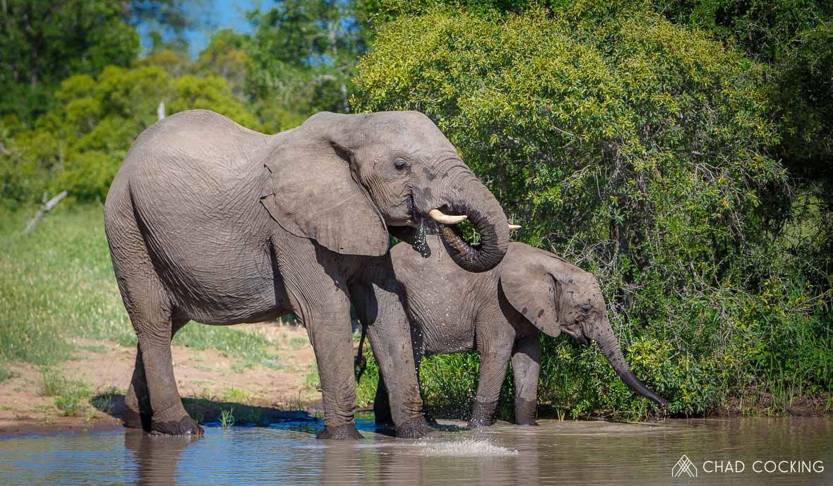 Tanda Tula - Cow and calf drinking in the Greater Kruger, South Africa