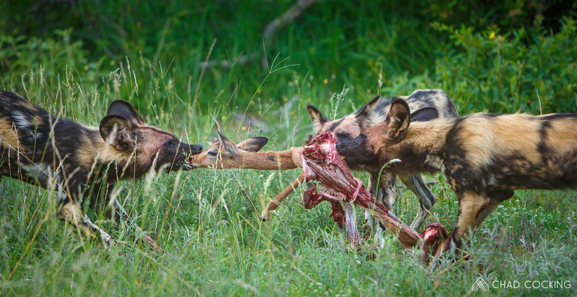 Tanda Tula - feasting wild dogs in the Greater Kruger, South Africa