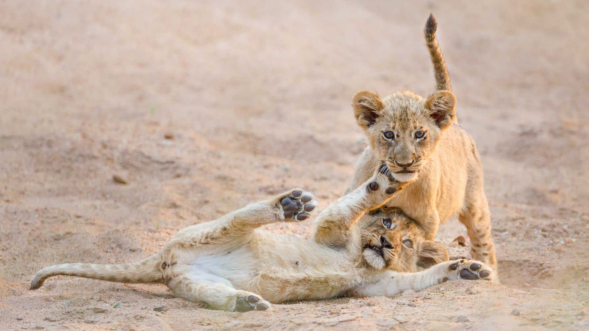 Tanda Tula - lion cubs together in the Greater Kruger, South Africa