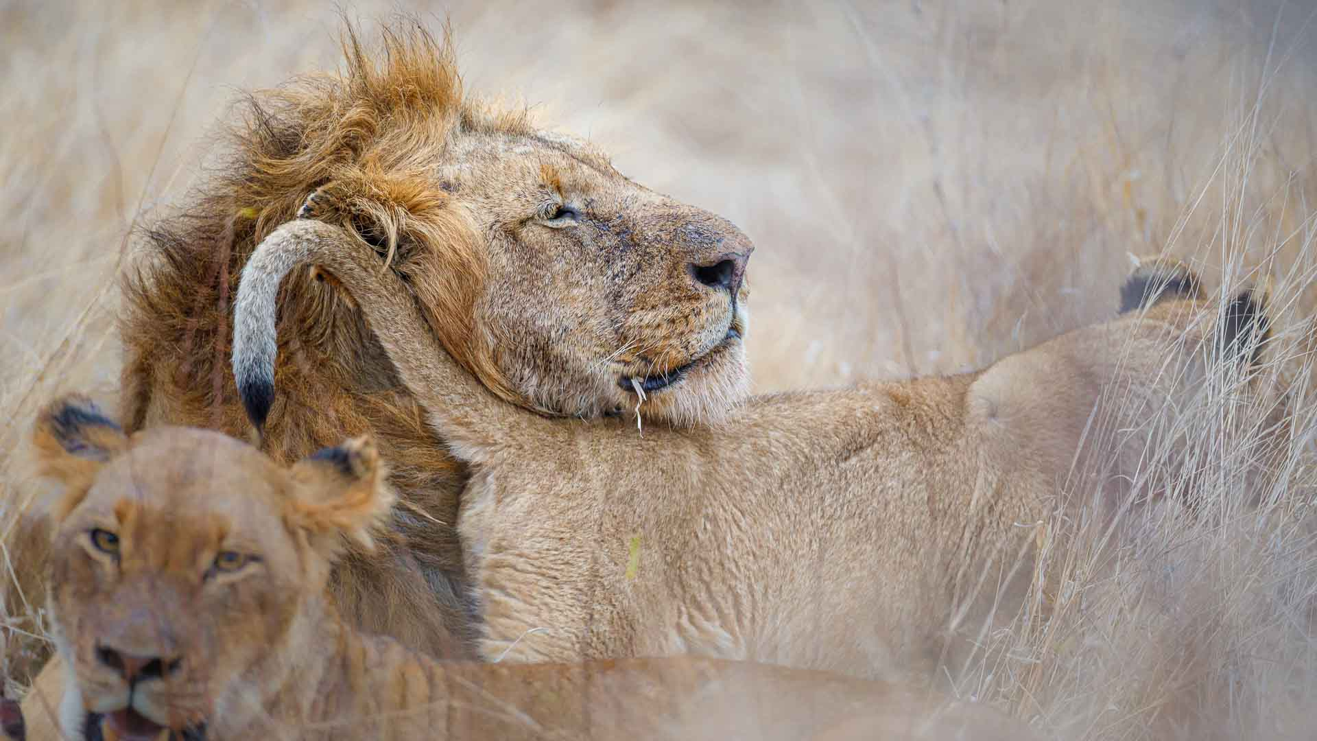 Tanda Tula - lions on the best safari in South Africa