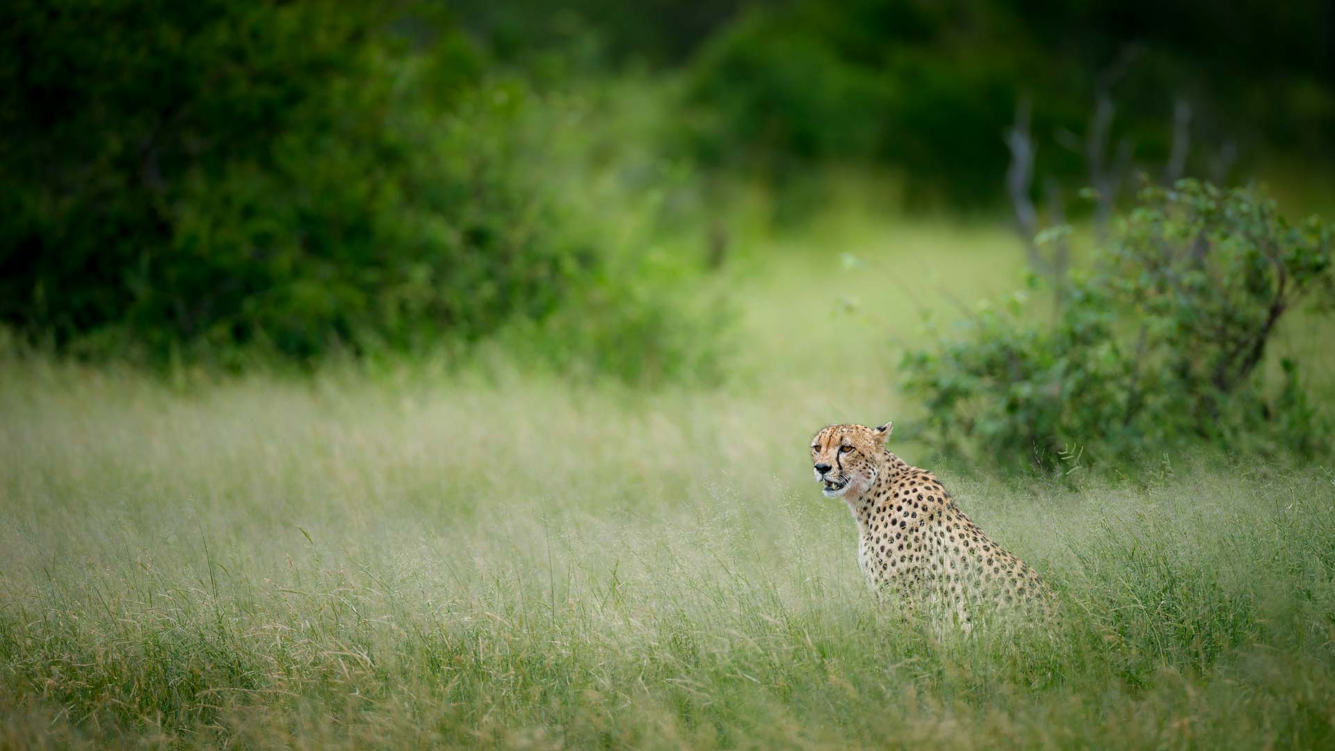 Tanda Tula - feature image. Chad Cocking. Cheetah