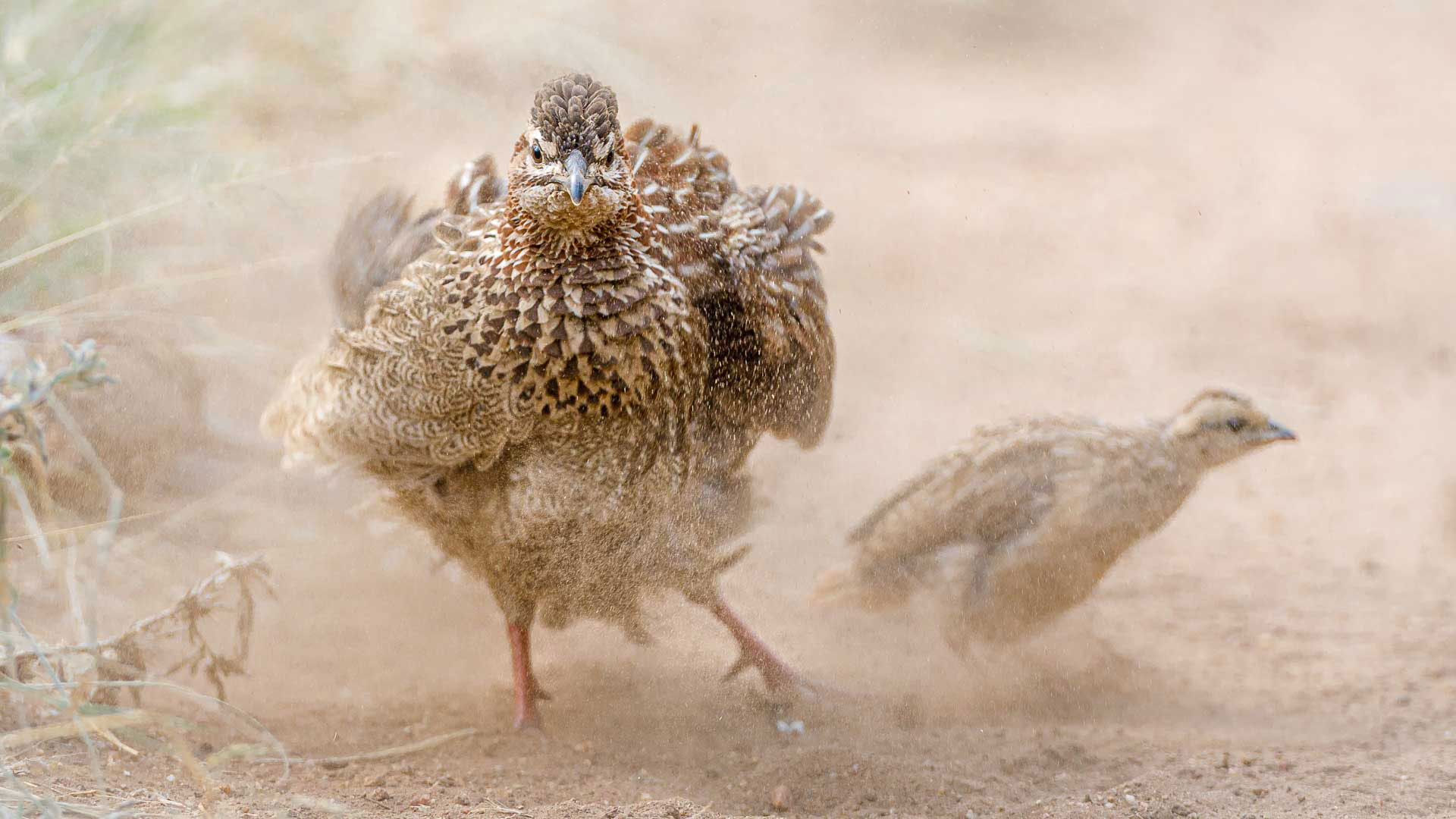 Tanda Tula - Crested Francolin in the Greater Kruger, South Africa